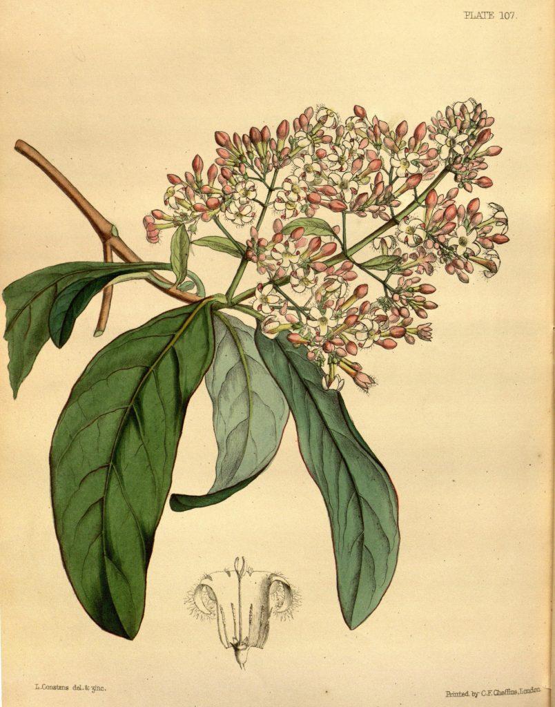 Cinchona, de onde é extraído o quinino